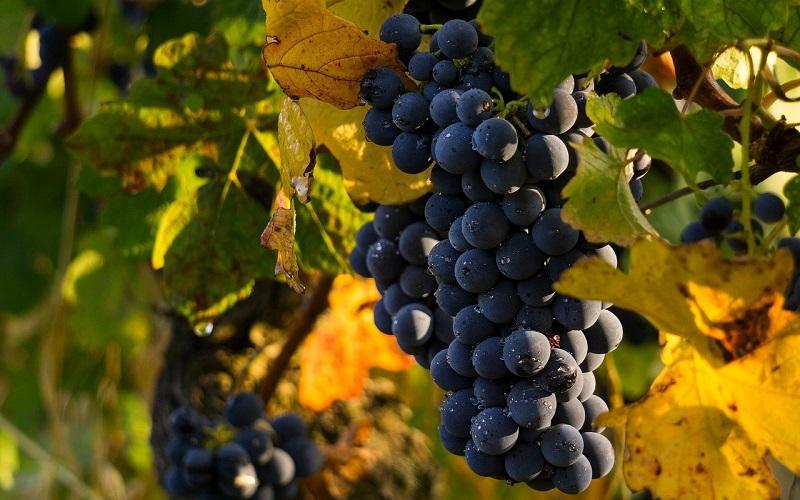 Vitivinicoltura Uva Da Vino