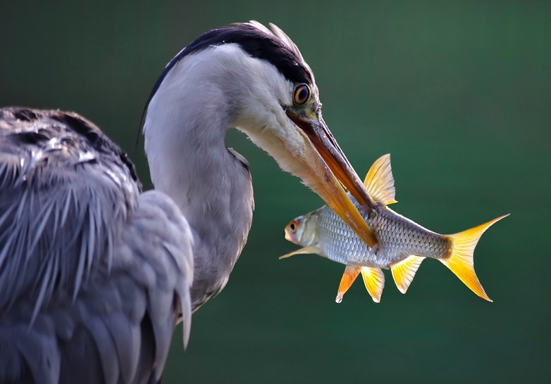 Airone Pesca