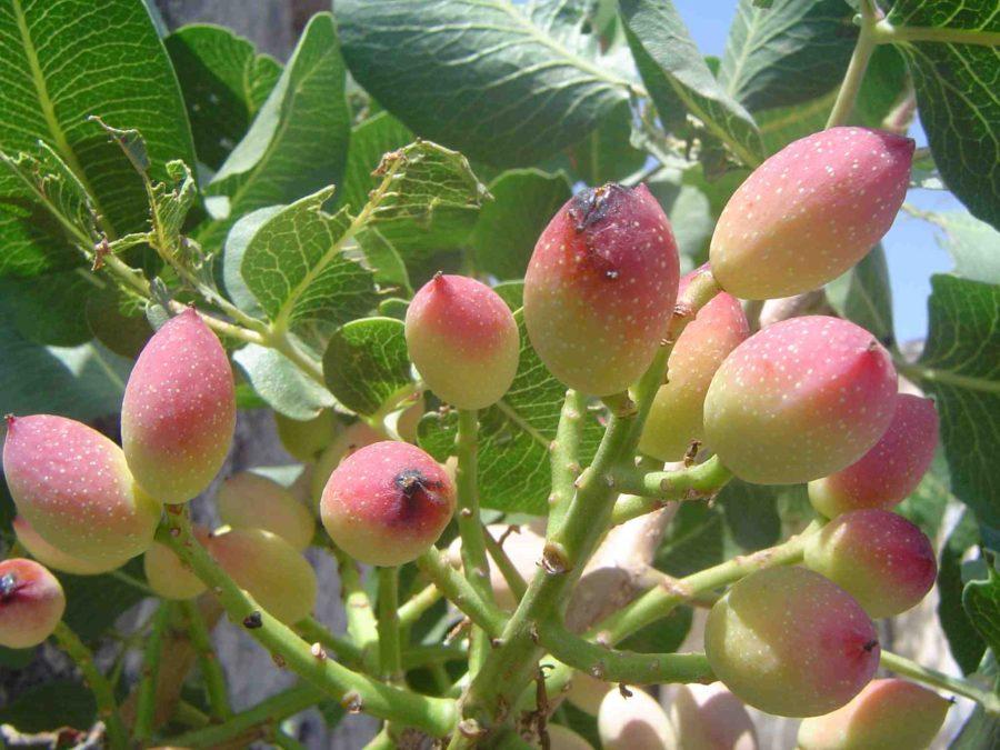 Pianta del tradizionale pistacchio di Bronte
