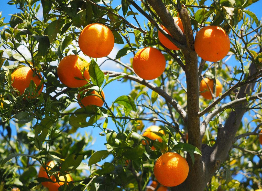 """Le arance siciliane impiegate nella realizzazione della start up """"made in Sicily"""" Orange Fiber"""