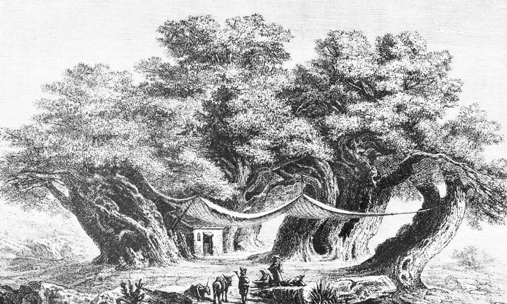 Il Castagno dei Cento Cavalli a Sant'Alfio. Fonte: Comune di Sant'Alfio.