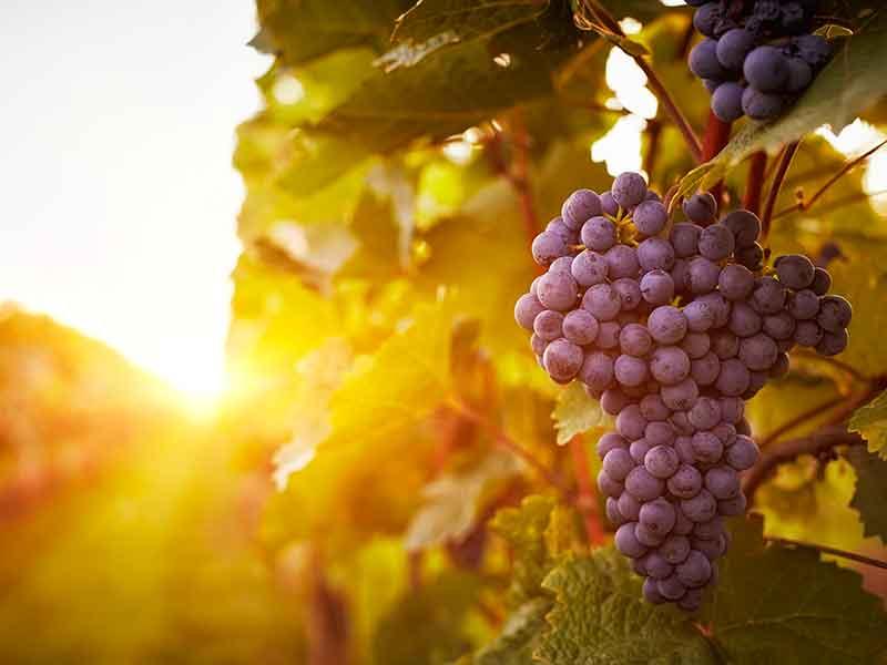 Uva Acerba nelle cantine della strada del vino dell'Etna