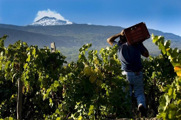 Vendemmia Etna