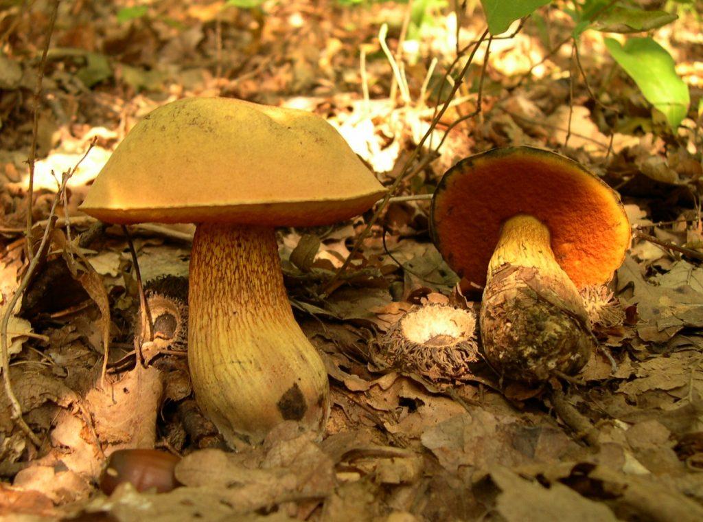 funghi dell'Etna: il boletus luridus