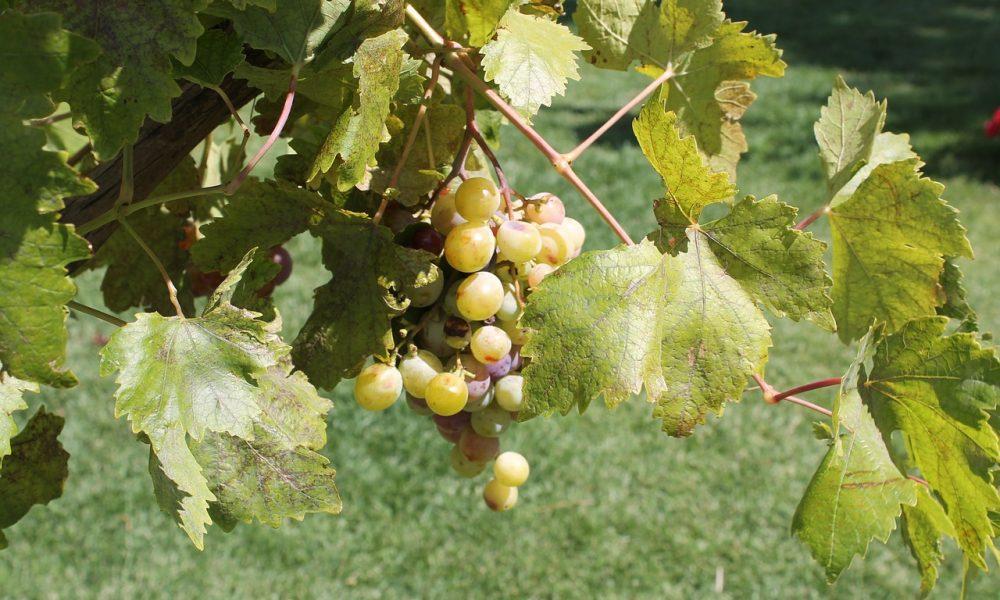 Vini dell'Etna, uve