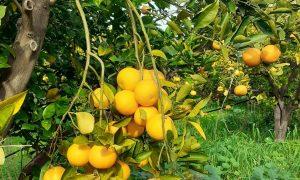 L'arancia rossa prodotta A Catania protagonista del mercato internazionale