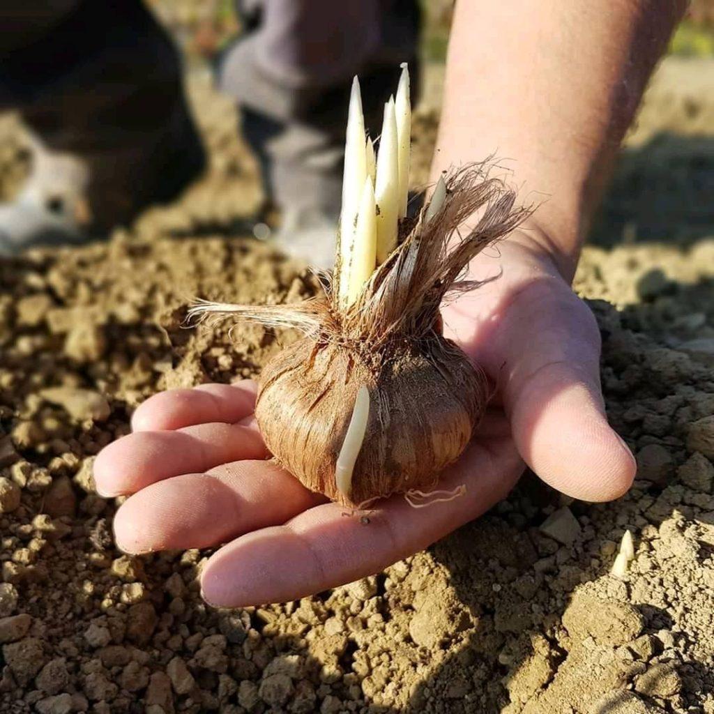 Lo zafferano è una pianta che appartiene alla famiglia delle Iridaceae, più precisamente alla specie Crocus sativus. L'origine è araba. E'la spezia più usata nel mondo antico. In Sicilia arrivò nel 1500.