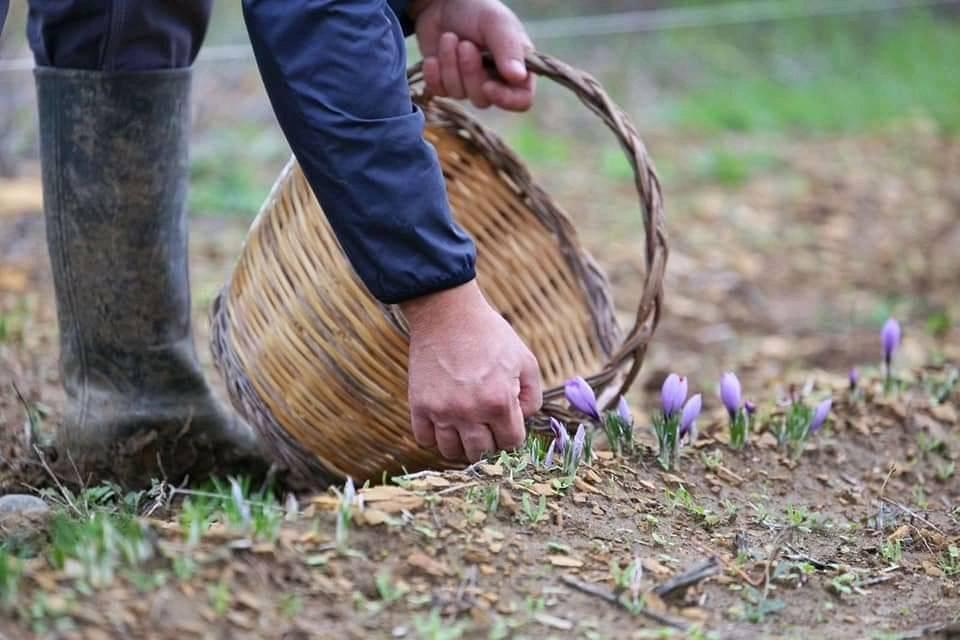 Lo zafferano si pianta ad agosto, la fioritura avviene tra ottobre e novembre. Ogni bulbo produce 1-5 fiori che vengono raccolti giornalmente nelle prime ore del mattino, prima che essi si schiudano, per non alterare le proprietà organolettiche.