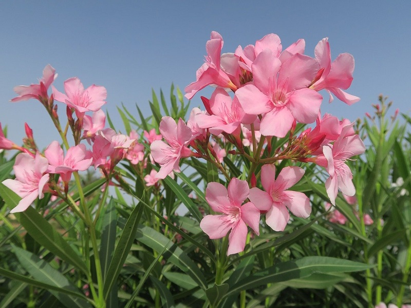 I fiori rosa di un albero di oleandro - Foto Pixabay