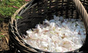 Foglie di gelsomino raccolte - Foto: Pixabay