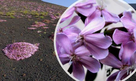 Saponaria dell'Etna, un fiore tra la lava