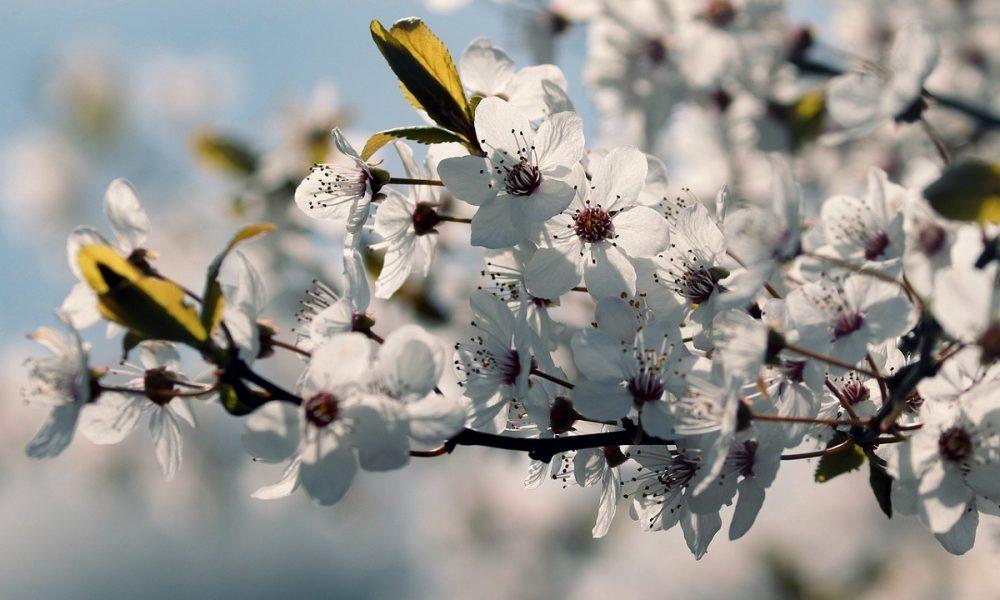 Prunus Cerasifera gli alberi del viale - Foto Pixabay