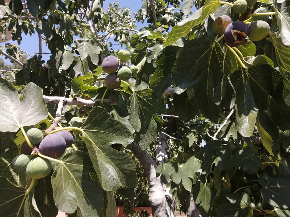 Il fico produce una grossa infruttescenza carnosa, tondeggiante, ricca di zuccheri, detta siconio. I frutti veri e propri sono i semini posti all'interno del fiore
