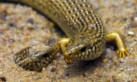 Tiraciatu. Foto di: chalcides ocellatus by Joachim S. Müller is licensed under CC BY-NC-SA 2.0