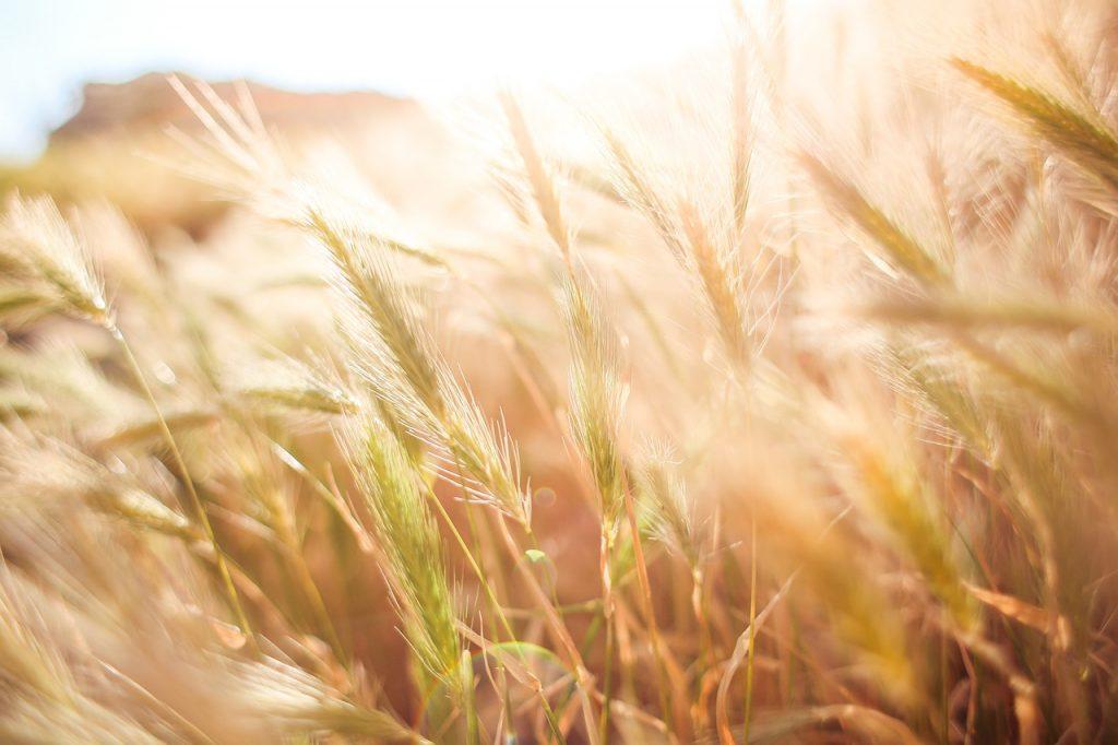 Wheat Crops 865098 1280