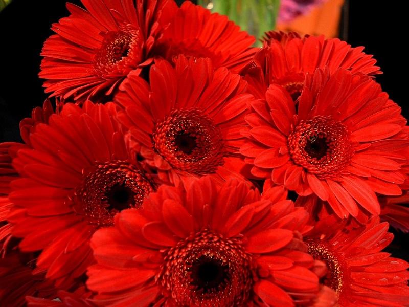 Gerbere rosse: un ricordo di vittime del Femminicidio -foto: Pixabay