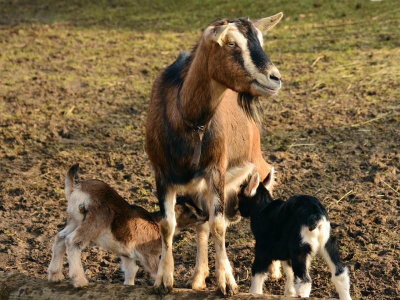 Pascolo: Capre e capretti