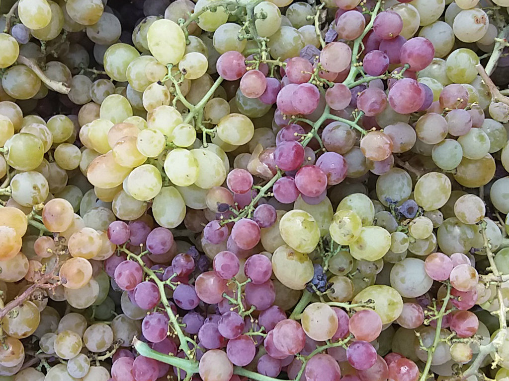 Vendemmia: uva rossa e bianca