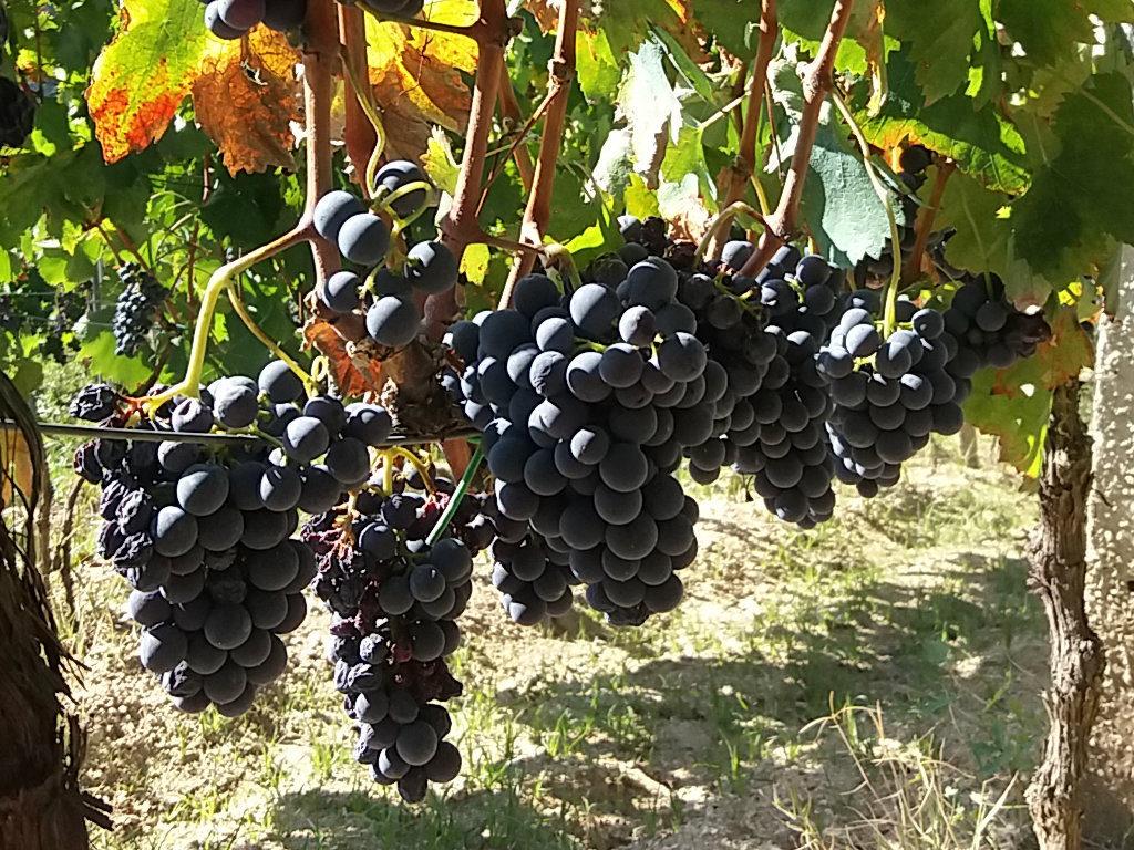 Vendemmia: uva da raccogliere