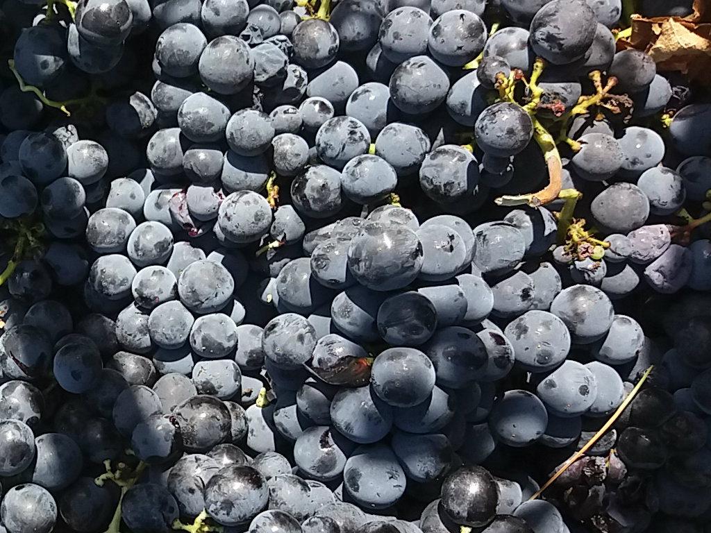 vendemmia: uva nera