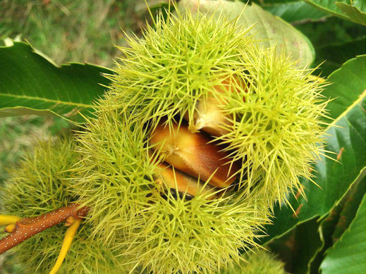 lavorazione delle castagne: un riccio sull'albero