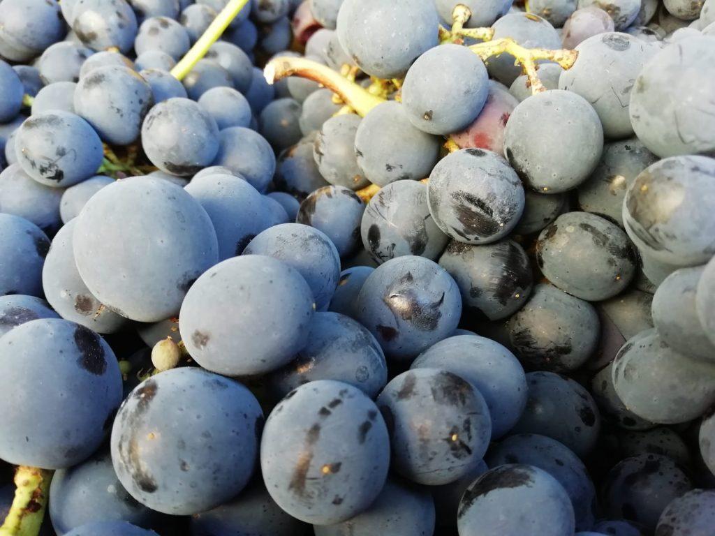 mostarda: uva nera