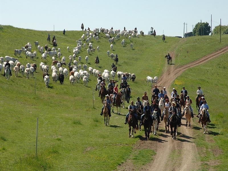 Transumanza. Una mandria scende a valle guidata da pastori a cavallo