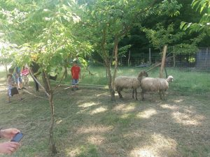 Coltiviamo Le Tradizioni: le pecore