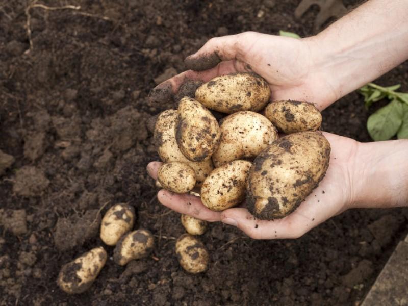 Patata: raccolto