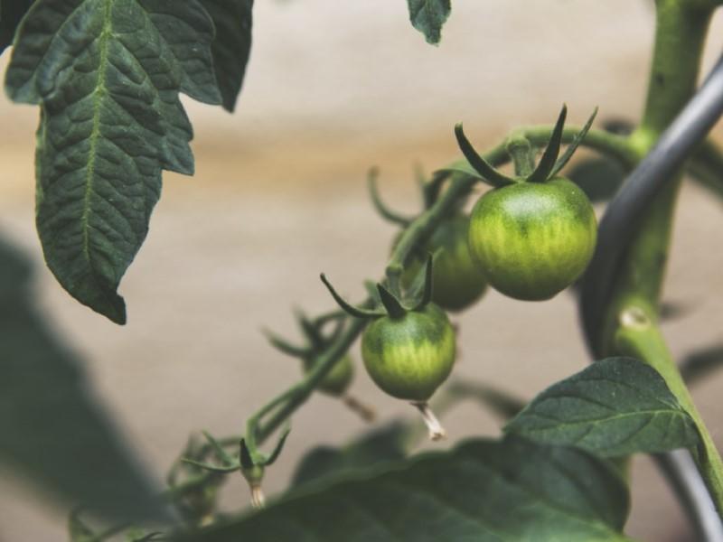 orto: Pomodori verdi sulle piante