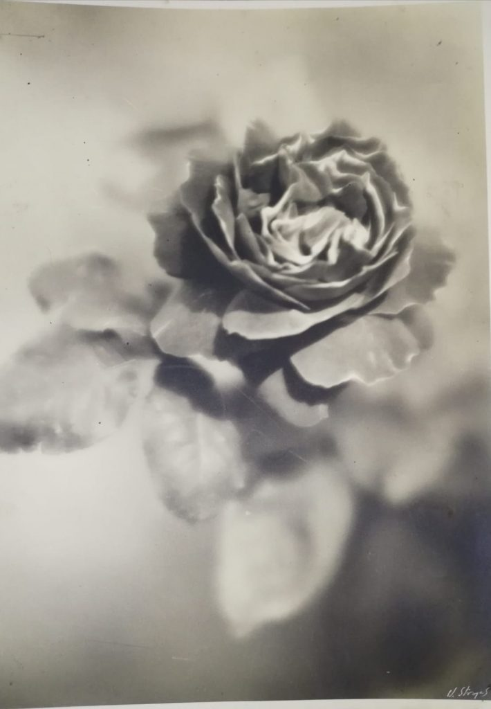Rosa Di Umberto Stranges