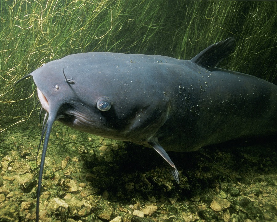 immagine del Pesce Gatto