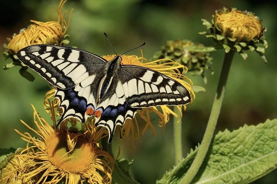 Le farfalle nel Polesine - tipo di farfalla Coda Di Rondine