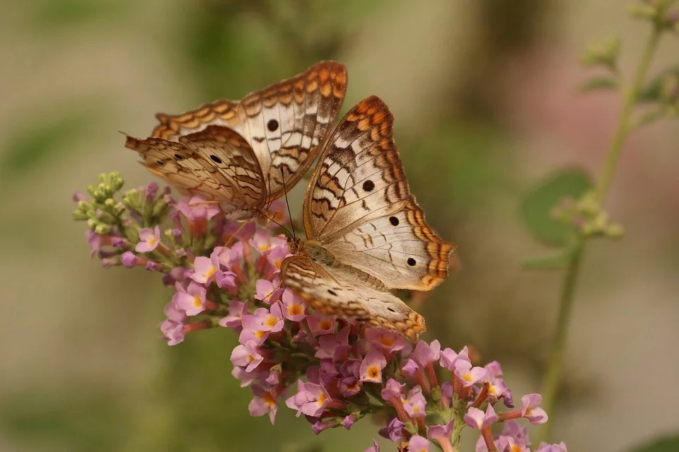 Le farfalle nel Polesine - Farfalla Macro che si posa