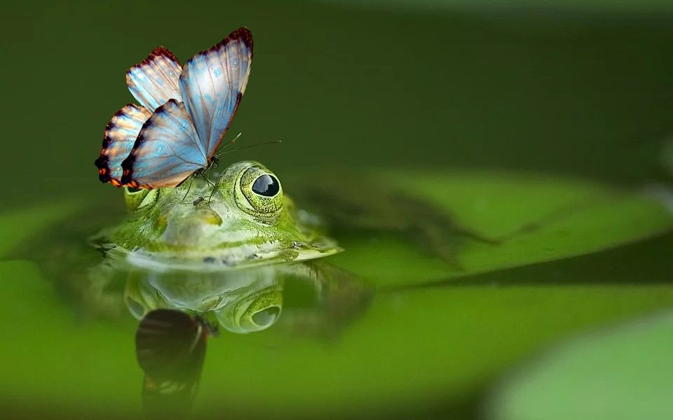 le farfalle nel Polesine - Rana con farfalla