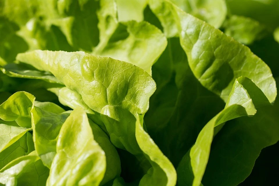 Insalata di Lusia IGP - Insalata Verde nella foto