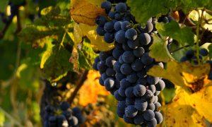 Il vino Clinto - Grappoli di uva locale
