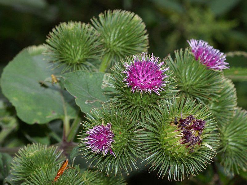 Bardana - pianta