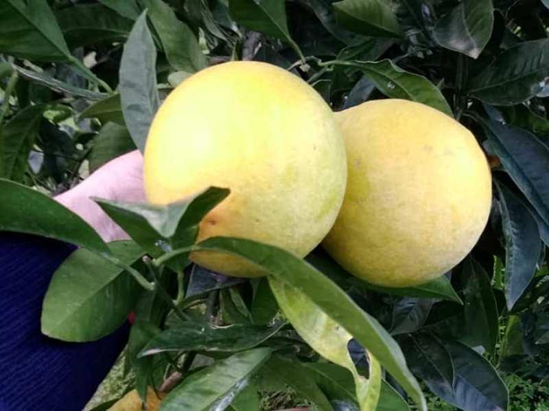 Arance - frutto