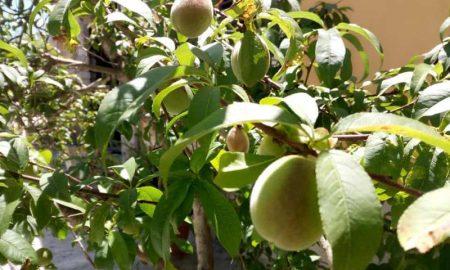 Frutta in fase di maturazione Su Albero
