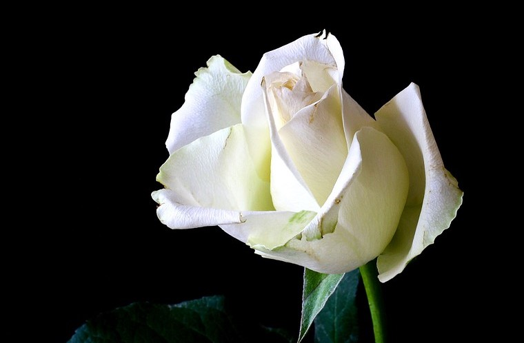 25 novembre Rosa Bianca
