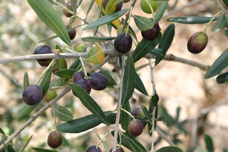 olio ciociaro- olive
