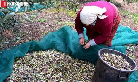 Raccolta Delle Olive In Salento4