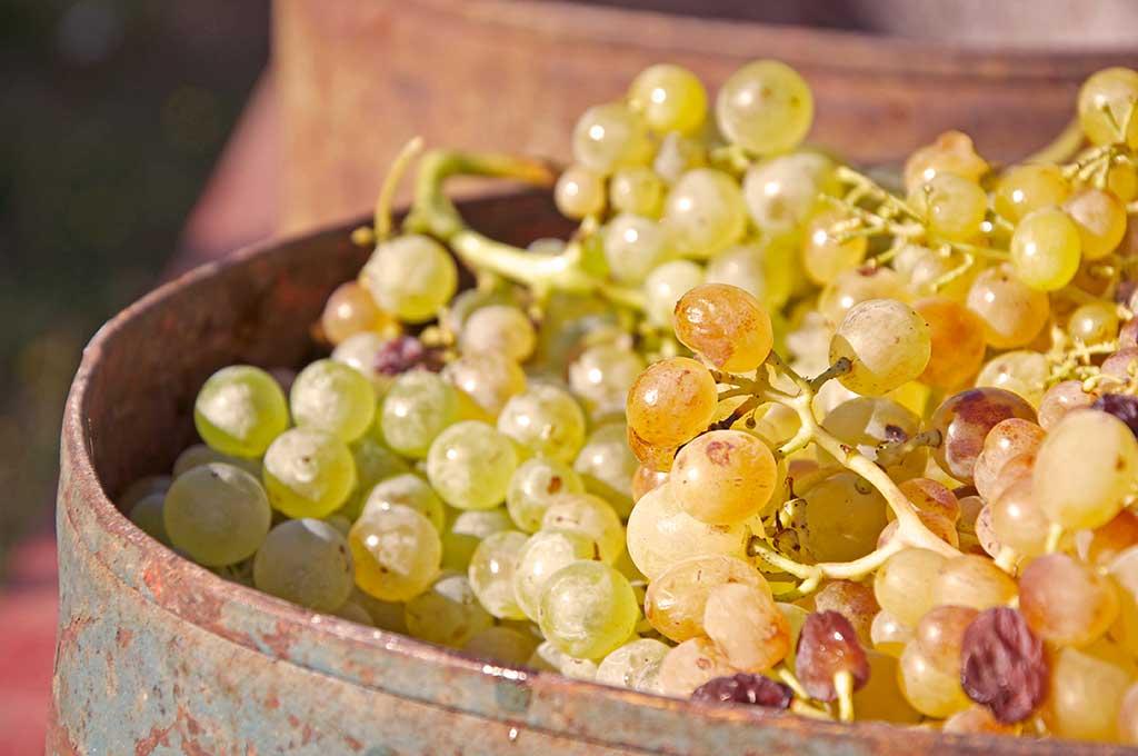 la passerina del frusinate- uva