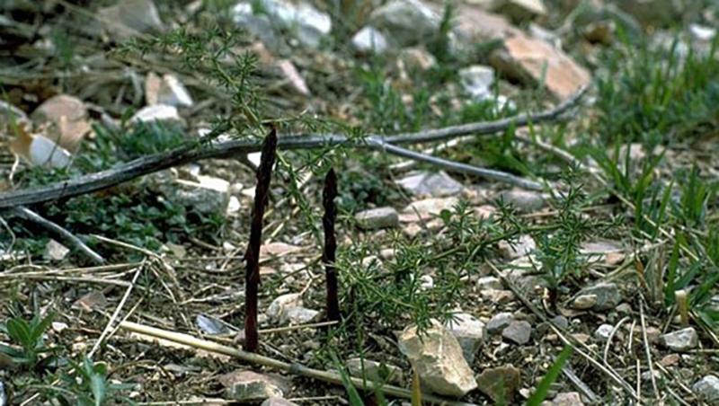 Asparagi selvatici - due esemplari in natura
