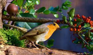 La campagna ciociara - immagine di pettirosso che si appresta a mangiare la frutta