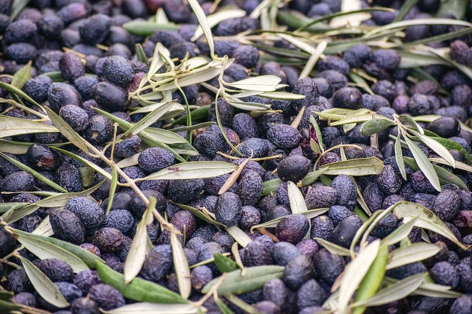 olio terra di cicerone - Olive mature