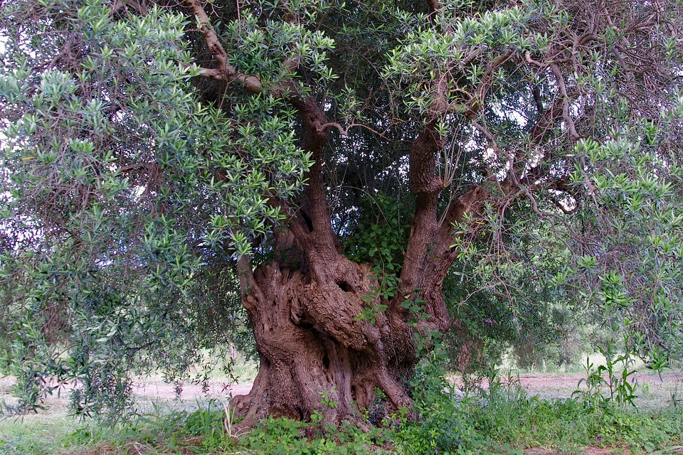 olio terra di Cicerone - Olivo secolare