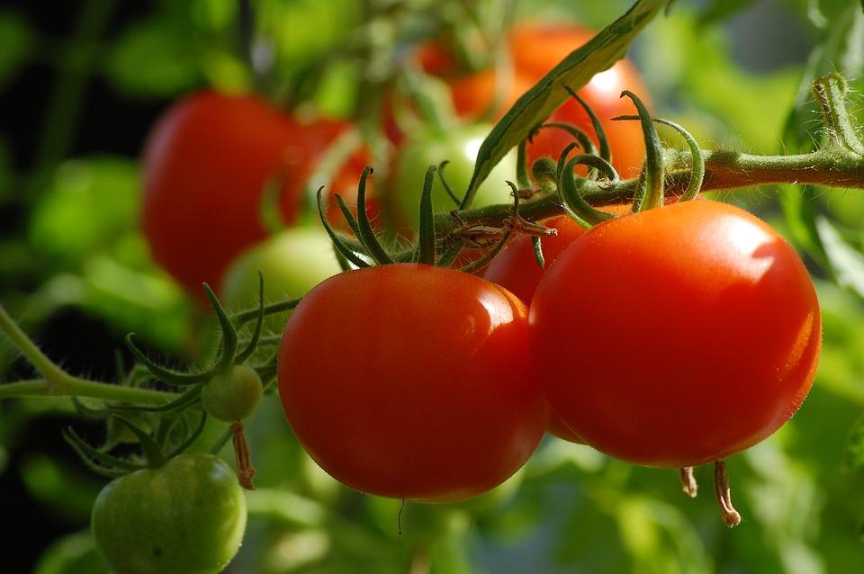 la campagna di maggio - Pomodori maturi