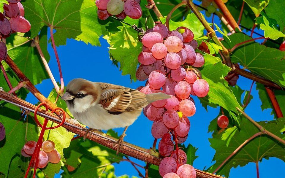 orto in ottobre - Grappoli di uva